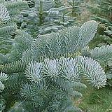 noble-fir